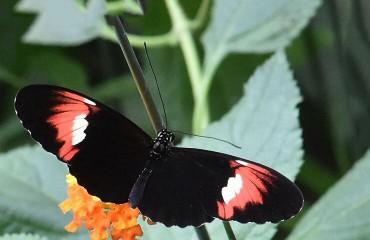 Бабочка-почтальон, или бабочка-мельпомена