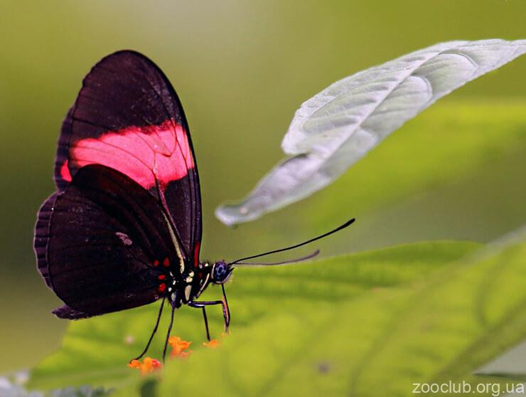 бабочка-мельпомена фото