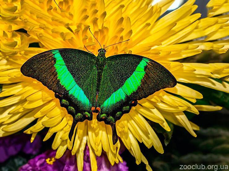 Фото Papilio palinurus