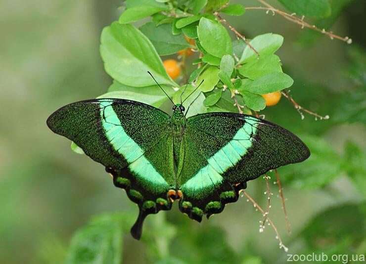 Papilio palinurus картинка