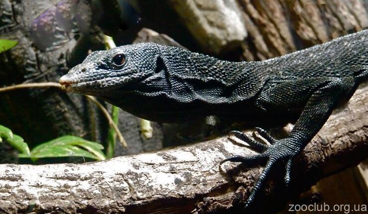 Фото древесного черного варана