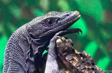 Древесный черный варан