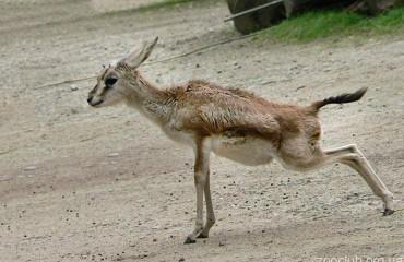 Джейран, или чернохвостая газель