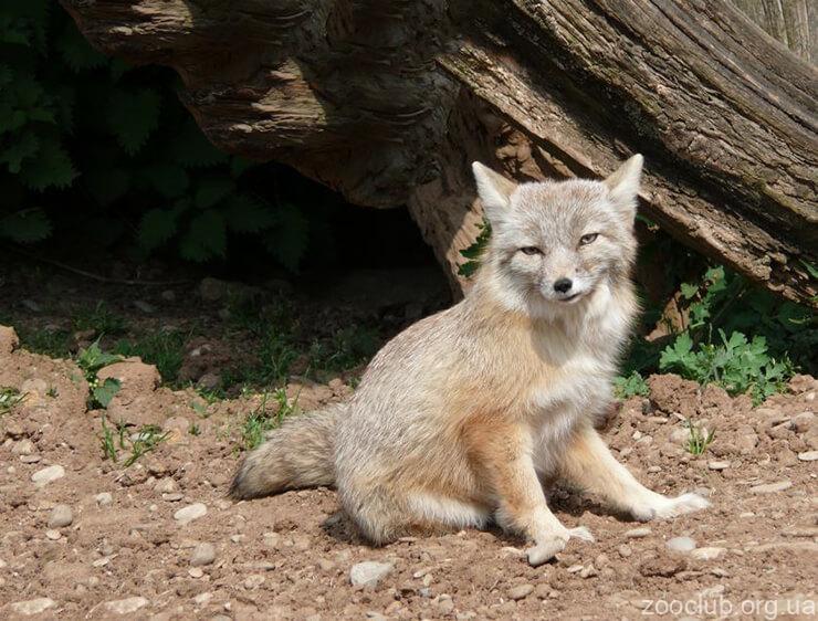 Фото степной лисицы
