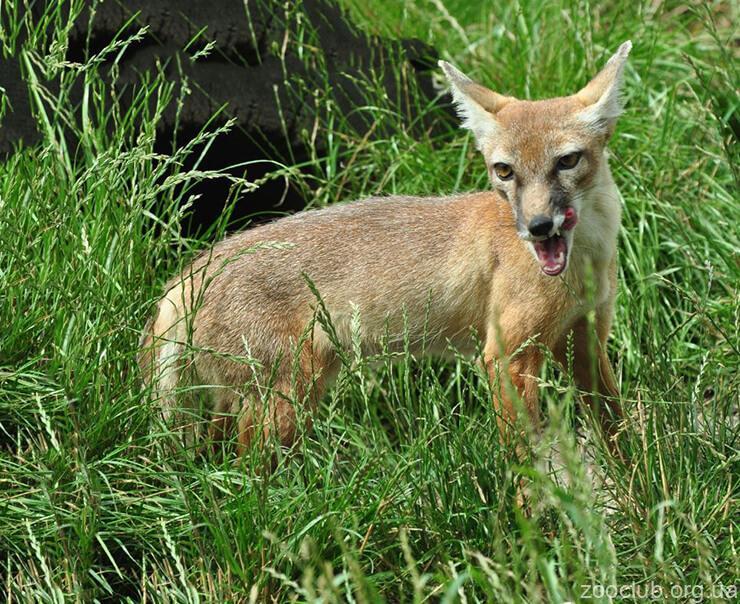 Фото лисицы степной