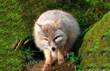 Корсак, или степная лисица