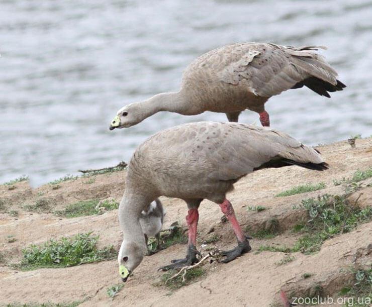 Фото куриного гуся