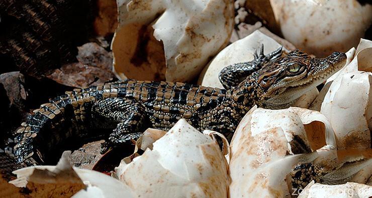 Фото крокодила сиамского