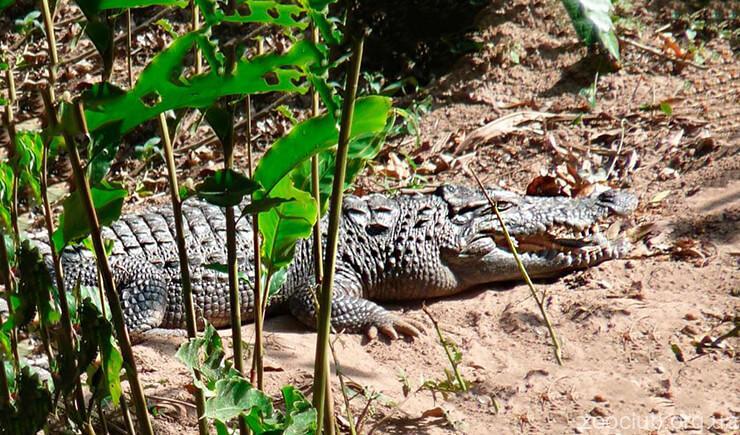 Фото Crocodylus siamensis