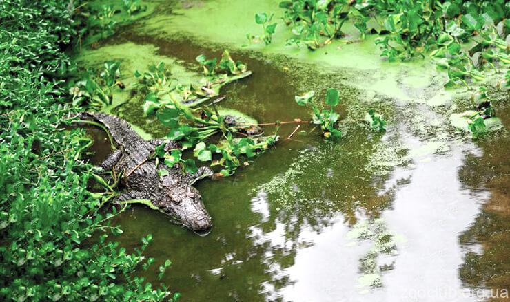Крокодил сиамский фото