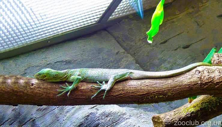 Фото смарагдового варана