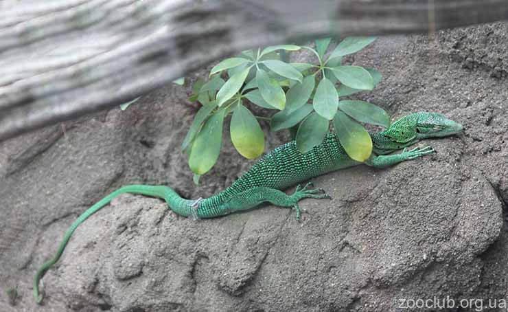 Фото зеленого варана