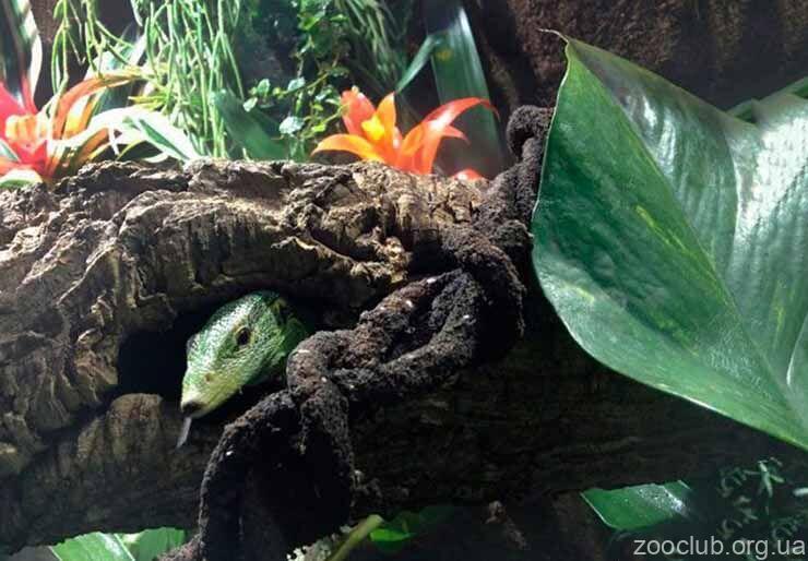 Фото зелёного варана