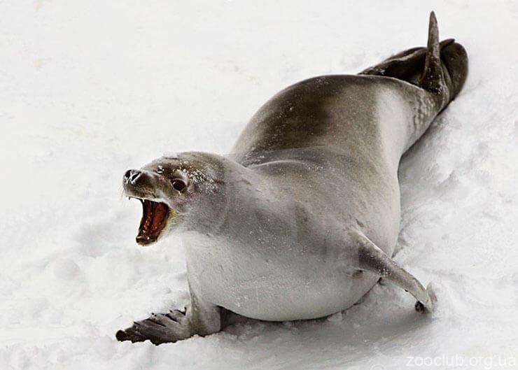 Картинка с тюленем Росса
