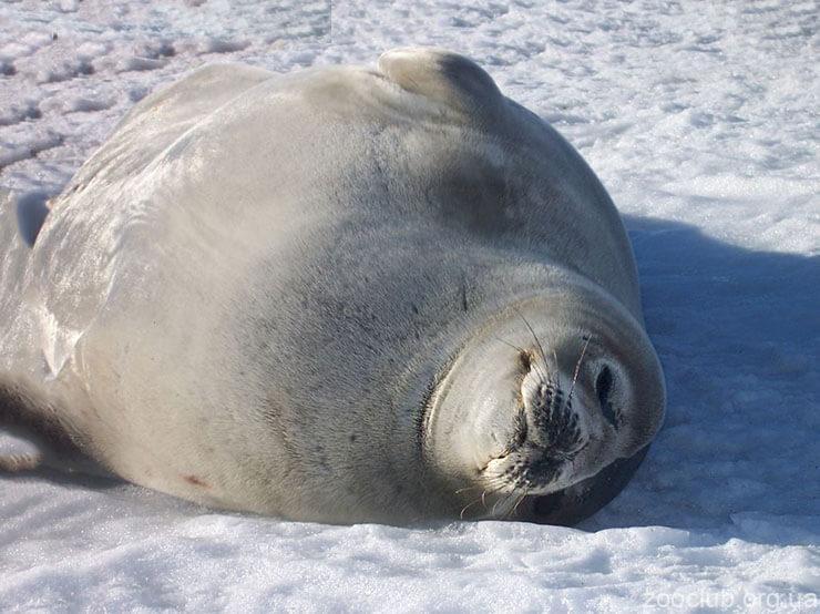 Фото тюленя Росса