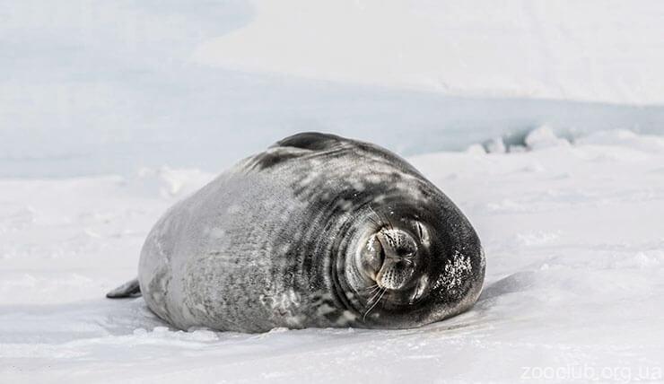 Тюлень Росса фото