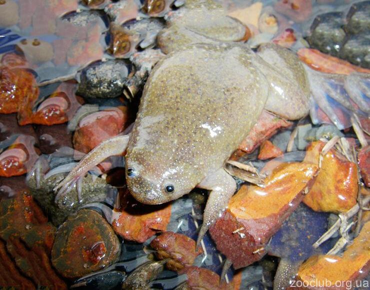 Африканская гладкая шпорцевая лягушка фото