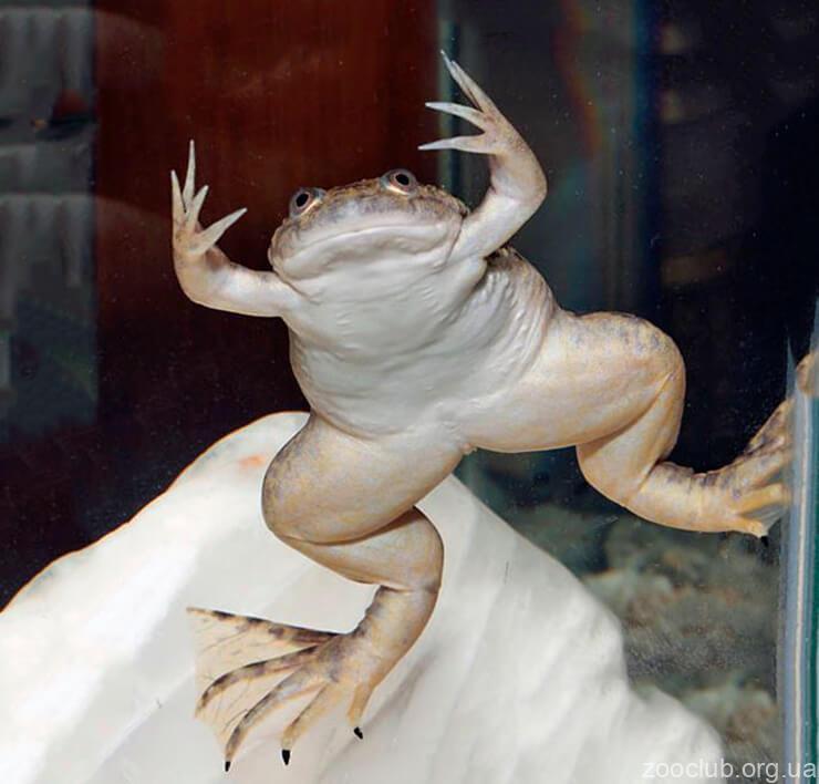 Фото лягушки африканская гладкой шпорцевой