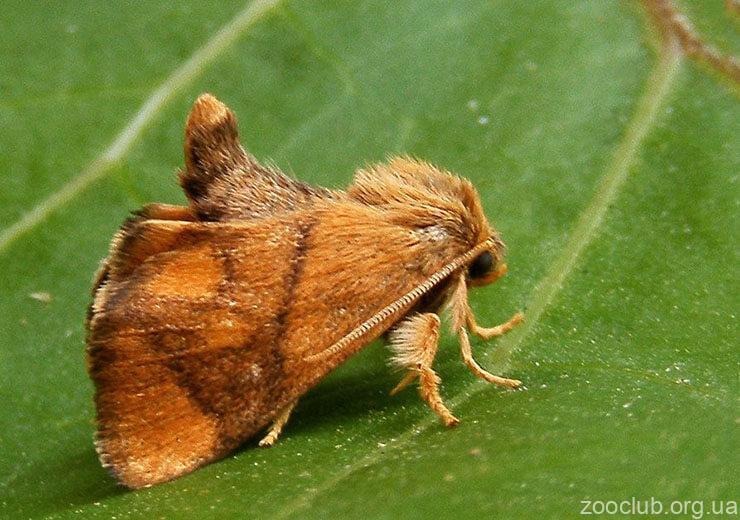 Фото бабочки-мокрицы