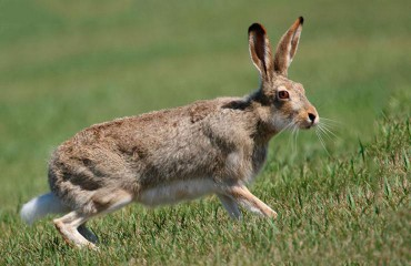 Заєць прерійний, або заєць білохвостий