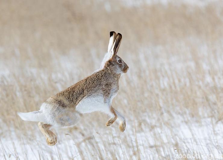 Белохвостый заяц фото