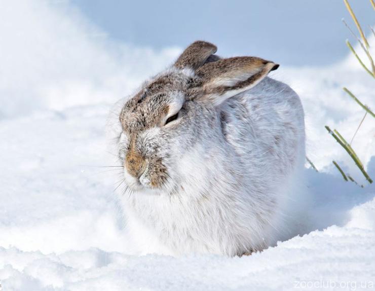 Фото белохвостого зайца
