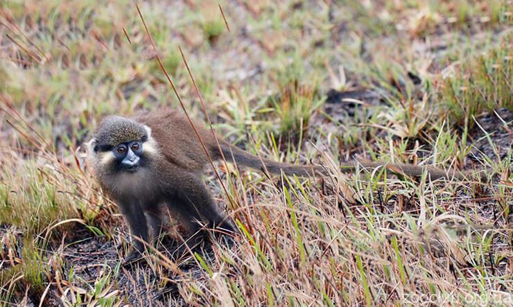 Фото голуболицей усатой мартышки