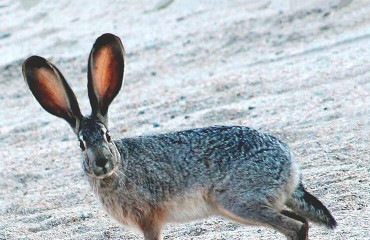Заєць каліфорнійський, або заєць чорнохвостий