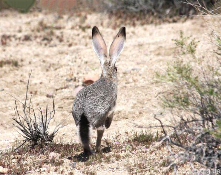 Фото чернохвостого зайца