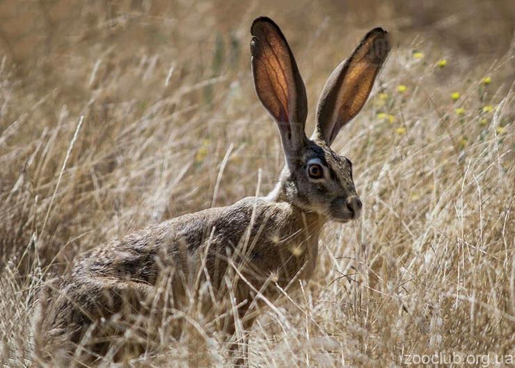 Фото калифорнийского зайца