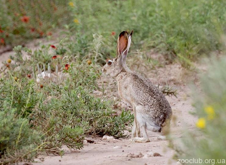 Чернохвостый заяц фото