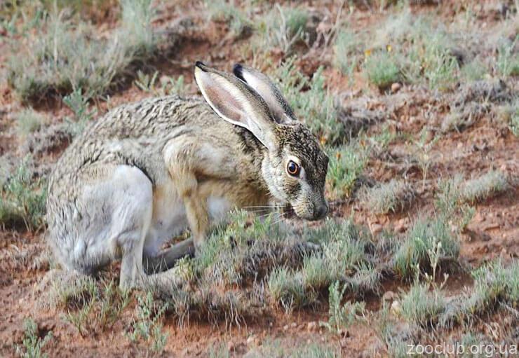 Калифорнийский заяц фото