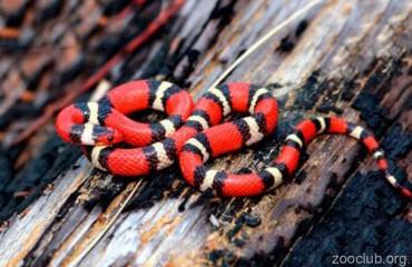 Королевская молочная змея Кэмпбелла