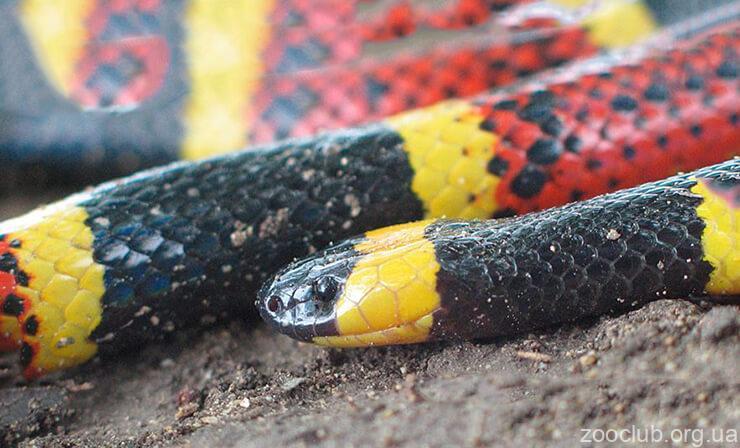 Фото королевской молочной змеи Кэмпбелла