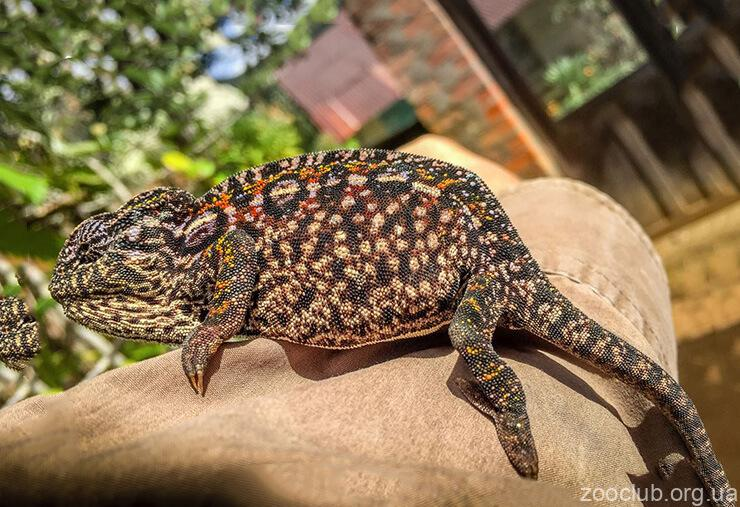 Фото Furcifer lateralis