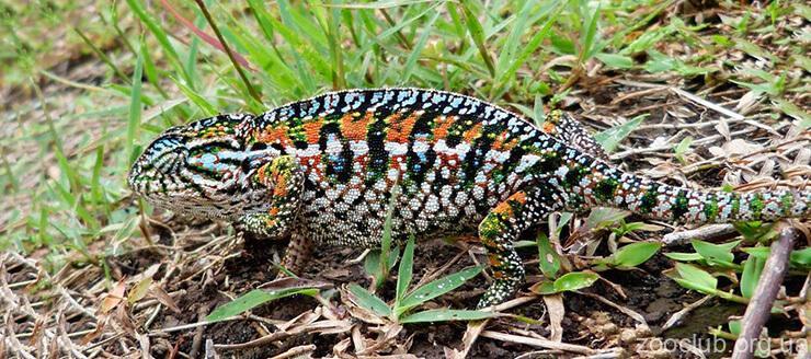 Фото коврового хамелеона