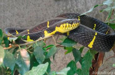 Мангровая змея, или мангровая бойга