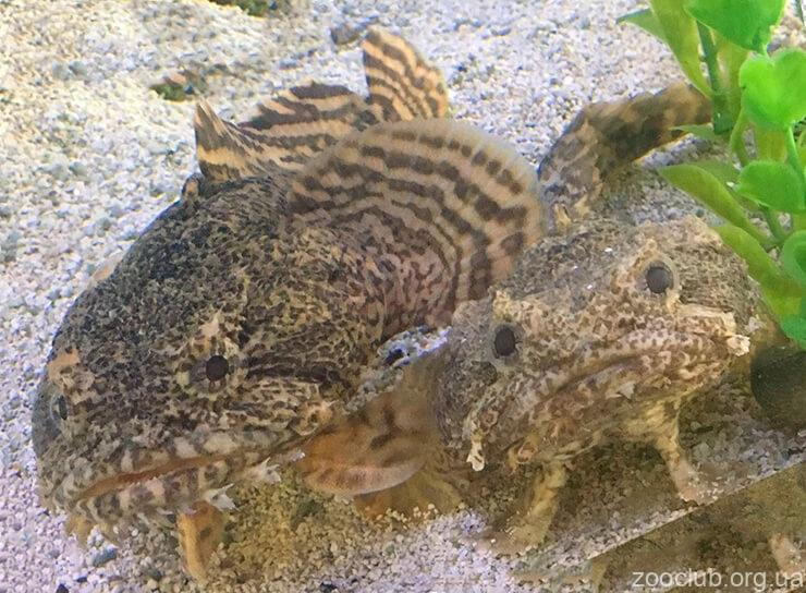 Фото рыбы-жабы
