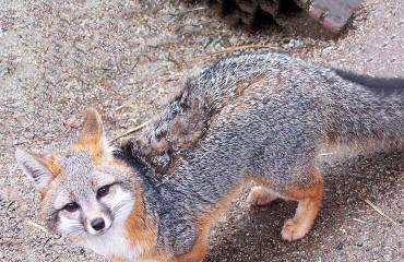 Серая или древесная лисица