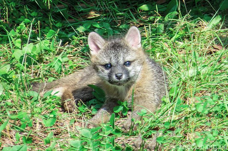 Фото древесной лисицы
