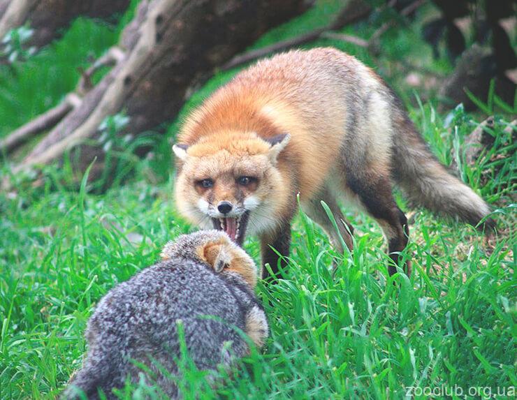 Фото серой лисицы