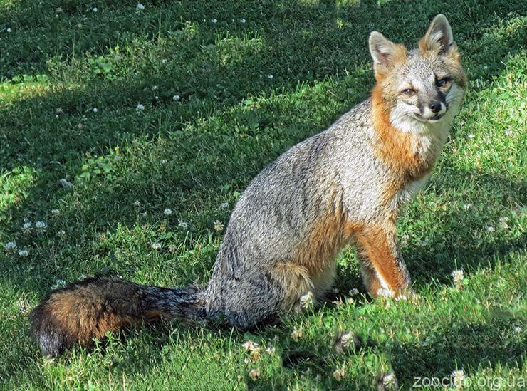 Древесная лисица фото