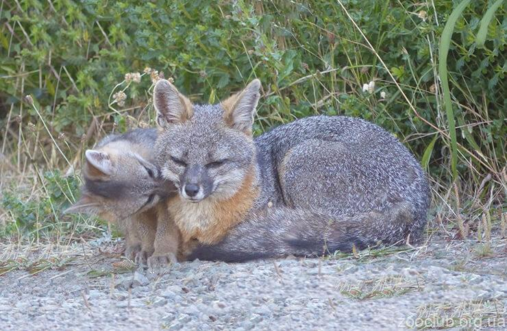 Фото лисицы серой