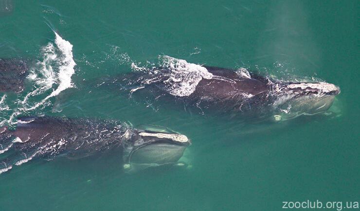 Фото кита северного гладкого
