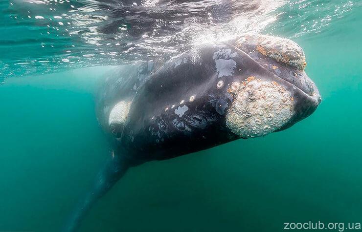 Северный гладкий кит фото