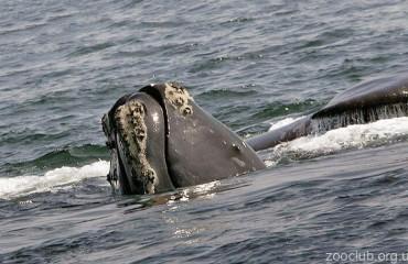 Північний гладкий кит, або атлантичний кит