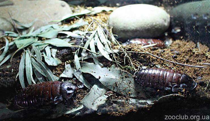 Фото гигантского роющего таракана