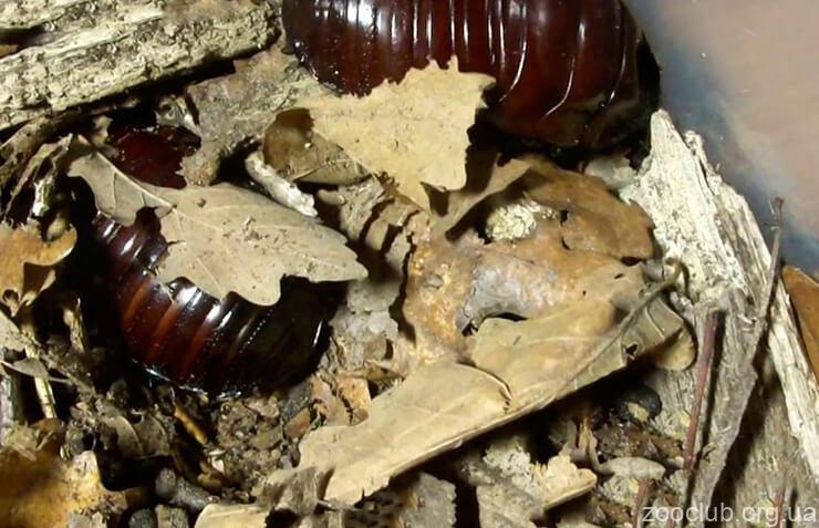Фото таракана-носорога