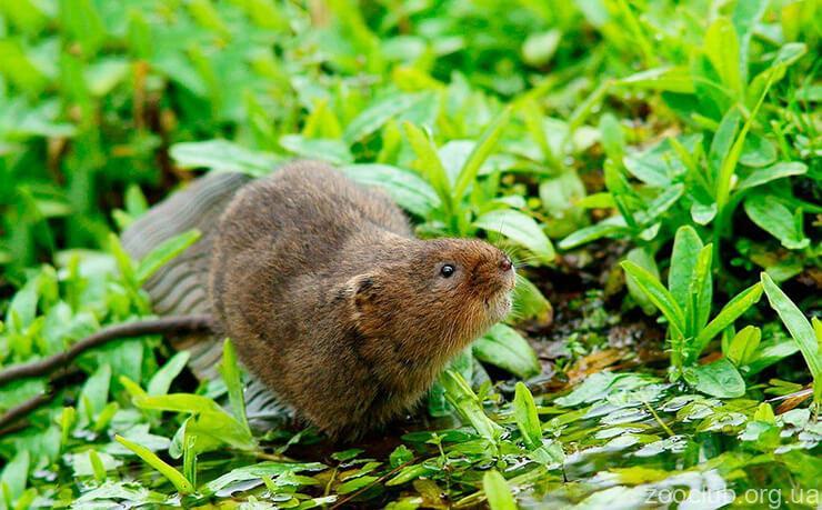 Фото водяной крысы