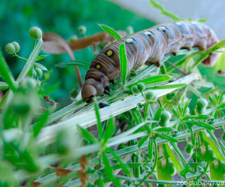 Гусеница подмаренникового бражника